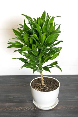 green fragrant dracaena plant isolated on white background House plant, home decor concept.