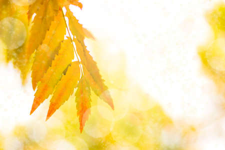 Autumn branch with beech leaves decorate beautiful nature bokeh background copy space Place for text Hello autumn, september, october, november, nature concept.