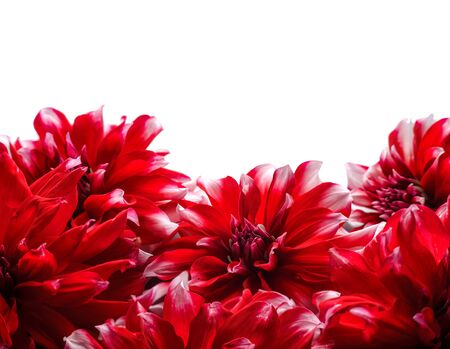 Floral arrangement of dahlias on a white background. Space for your text Stockfoto