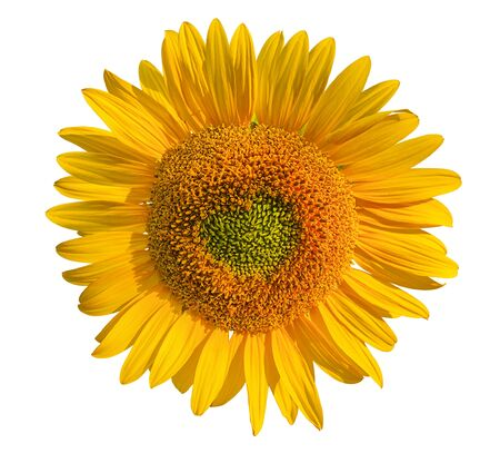 Sunflower flower isolated on white background. Heart in the center of the flower. Happy Valentine's day