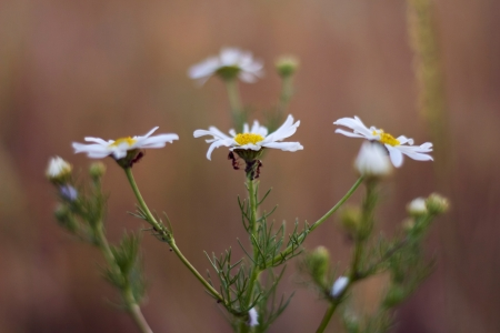 Ants on camomile flowers in the field photo