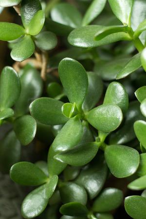jade plant: Dollar plant (crassula portulacea) leaves close up houseplant