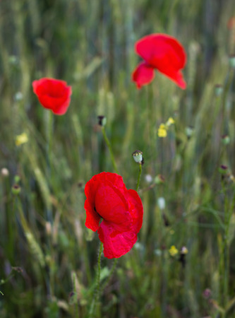aciculum: Beautiful flower of poppy in a poppy field Stock Photo