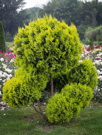 formal garden: Decorative tree in Formal Garden with flovers