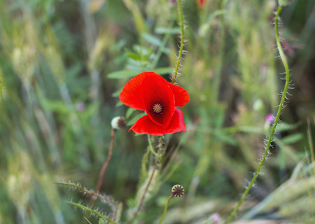 aciculum: Beautiful flower of poppy in a poppy field Stock Photo