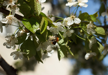nectar: Bee collects nectar on the blossoming sweet cherry branch oundoor