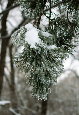 firtree: Winter frozen in snow and ice of a branch a fir-tree Stock Photo
