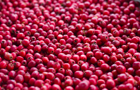 picked red ripe berries of a hawthorn close up