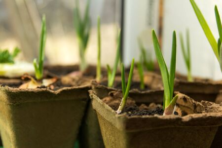 Green big growing onions planted in a peat container at home Banque d'images