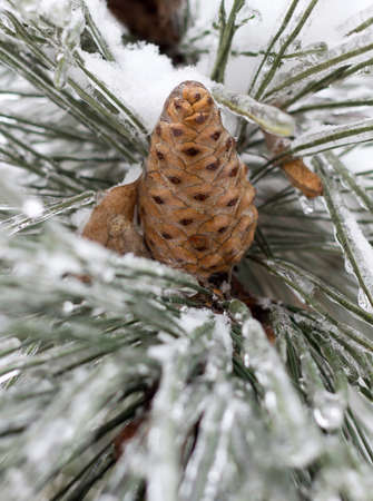Snowy winter trees and cones close up