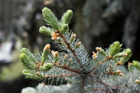 Evergreen spruce branch updated with growing new branches of bright green color 版權商用圖片