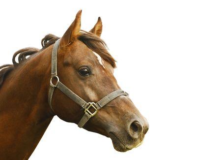 horse saddle: dark orange arabian stallion head isolated on white Stock Photo
