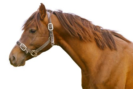 rein: horse isolated Stock Photo