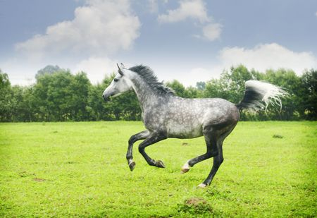 arabian stallion galloping through the pasture photo