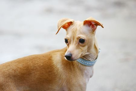 toy terrier: giocattolo terrier