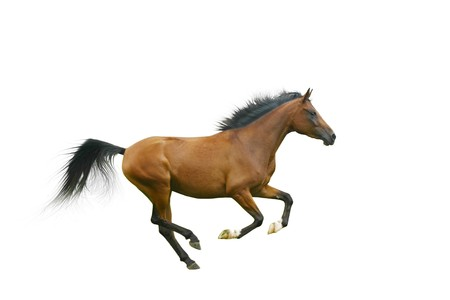 gallop: arabian horse galloping Stock Photo