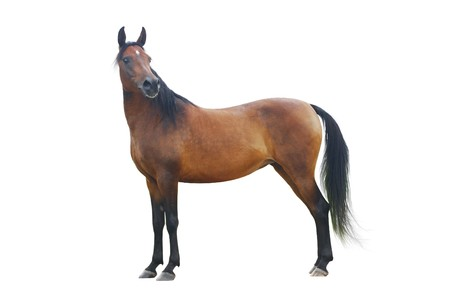 standing bay arabian horse isolated Stok Fotoğraf