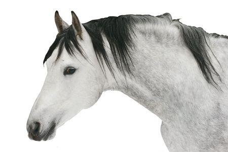 grey stallion isolated