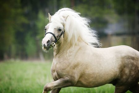 welsh pony stallion close up moving on field Stock Photo - 4925273