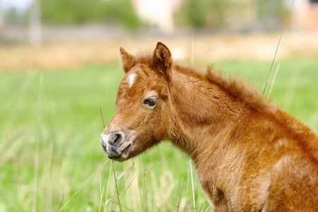 filly: little pony filly in summer