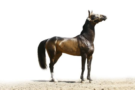 dapple horse: purebred ackal-teke stallion isolated on white