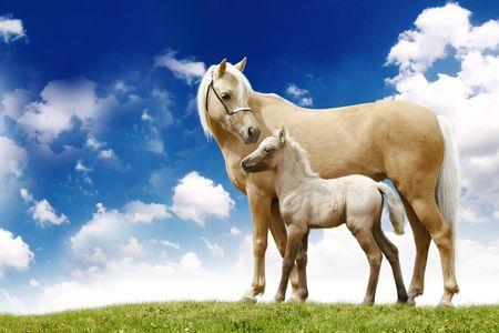 chevaux palomino sur gradient de gris