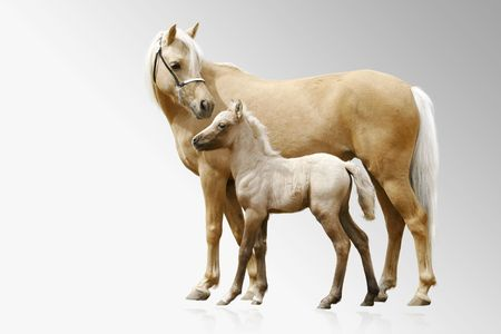merrie: palomino paarden op grijs kleurverloop