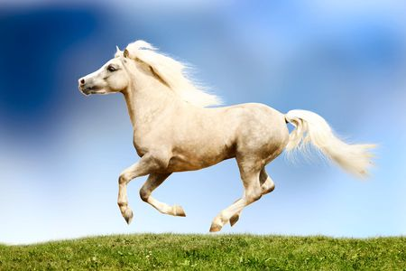 palomino horse galloping Stock Photo