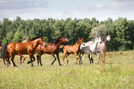 arabian horse herd in field photo