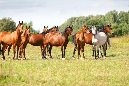 arabian horse herd in field photo