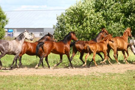 arabian horses herd on field photo