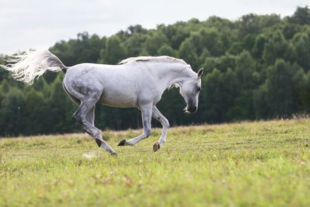 beautiful white arab stallion photo