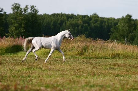 dapple grey: white arab stallion in field Stock Photo