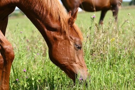 young arab colt grazing Stock Photo - 5381691