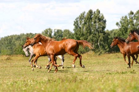 arabian horses herd photo