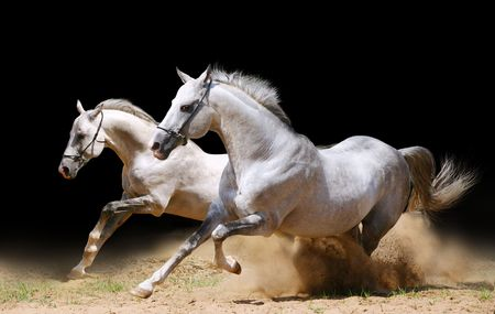 hoofed: two stallions in dust Stock Photo