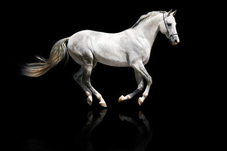 black horses: silver-white stallion galloping