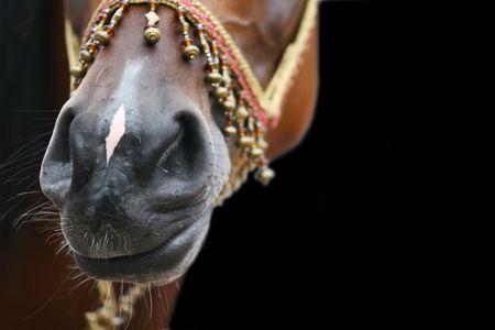 sheeny: arab horse nose on black