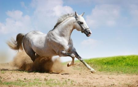 silber-weiß Hengst galoppierenden auf Feld