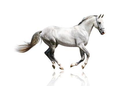 free running: silver-white stallion galloping
