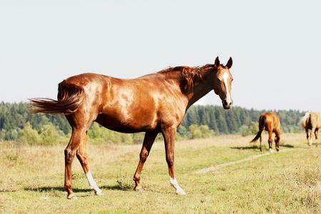 chestnut horse on field photo