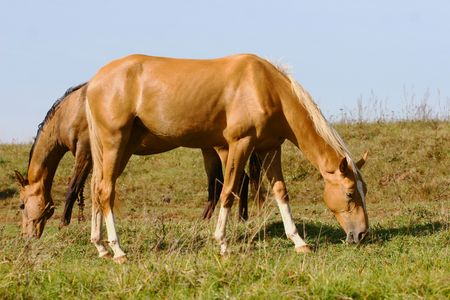 purebred horses grazing on summer field photo