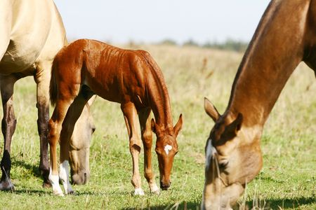 filly: chestnut filly on field with herd