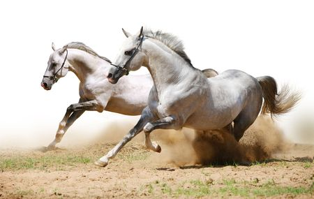 two stallions in dust Stock Photo