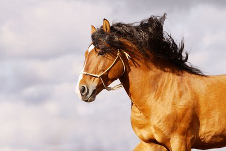 halter: stallion galloping Stock Photo