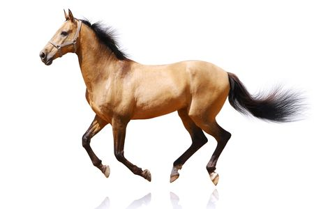 chestnut male: horse isolated Stock Photo