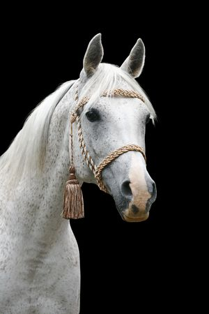 white arab horse isolated