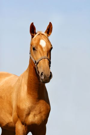light brown horse: young palomino stallion on blue sky