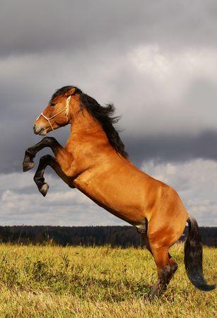 prancing stallion photo