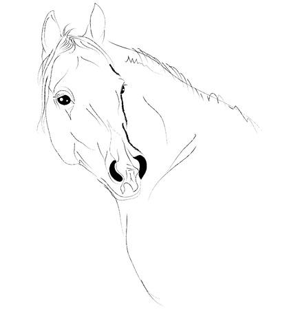 arabian horse: arab head sketch Illustration